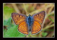 Büyük Mor Bakır Kelebeği