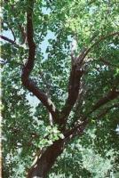 Kayısı Ağacı...