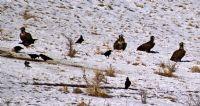 Kara Akbabalar Ve Kuzgunlar