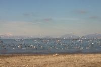 Beyşehir Gölü'nde Martılar