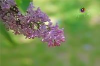 Leylak �i�e�i (lilac Flower)