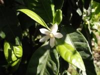 Mandalin Çiçeği