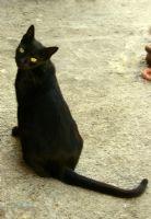 Uğurlu Kara Kedi