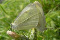 Kelebeklerin Aşkı