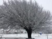 Kar Ve Ağaç