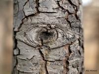 Ağacın Gözü