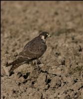 Gökdoğan Peregrine Falcon / Falco Peregrinus