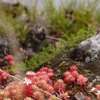 Dağ Çiçekleri