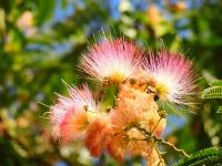 Kestane Çiçeği