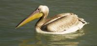 Ak Pelikan