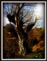Yaşlı Ağaç..