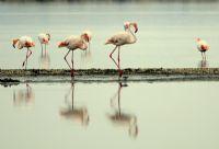 Uygun Adım Flamingo