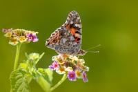 Diken Kelebeği - Fotoğraf: Zafer Çankırı
