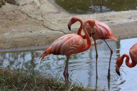 Pembe Flamingolar