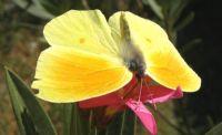 Orakkanat Ve Zakkum Çiçeği