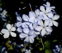 Mavi Yasemin