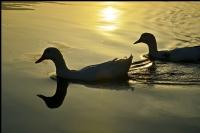 Sapanca Gölü Sakinleri.. - 2
