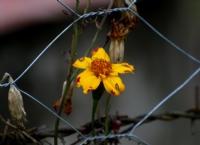 Esir Çiçek