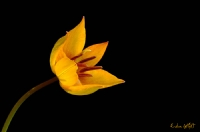 Manisa Lalesi(anemon)