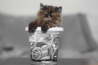 Kova İçinde Kedicik