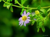 Memleketimin Çiçeği