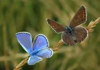 Çokgözlü Mavi Çifti