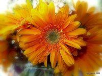 Daisy-the- Orange ...