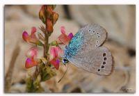 Karagözlü Mavi Kelebek