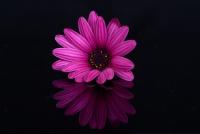 Mor Çiçek