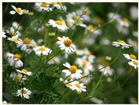 Umudun Çiçekleri