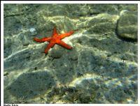 Kırmızı Deniz Yıldızı (echınaster Sepositus)