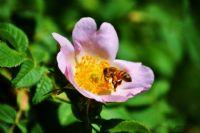 Arı Ve Yaban Gülü