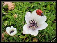 Mardin Uğurböceği Ve Çiçek