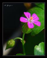 Parlak Turnagagası (geranium Lucidum)