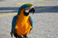 Süslü Papağan