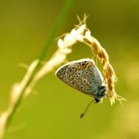 Basasagi Cokgözlü Mavi