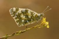 Dağ Oyklösü (euchloe Ausonia)