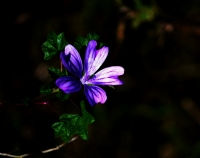 'yaban Çiçeği'