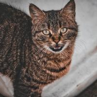 Gaziantep Kedi