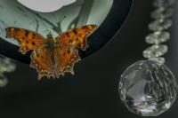 Avizede Kelebek