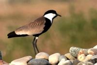 Mahmuzlu Kız Kuşu