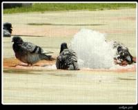 Güvercinlerin Banyosu