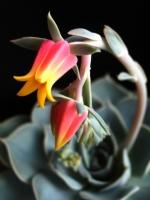 Annemin Çiçeği