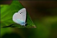 Karagöz Mavisi