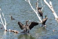 Karşıyaka Karagöl'de Karabataklar