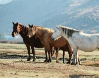 Yılkı Atlar
