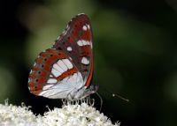 Akdeniz Hanımeli Kelebeği (limenitis Reducta)