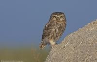 Kukumav » Little Owl » Athene noctua - Fotoğraf: Menderes Atay