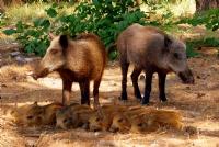 Domuz Ailesi