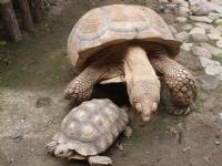 Yaşlı Kaplumbağa